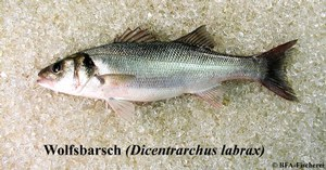 Dicentrarchus labrax
