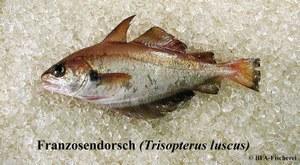 Trisopterus luscus